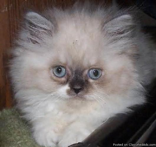 Gorgeous male and female kittens for sale