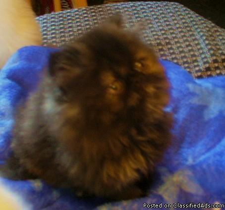 Gorgeous Persian Kittens,