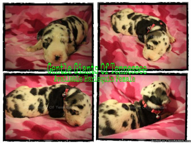 Great Dane puppies AKC