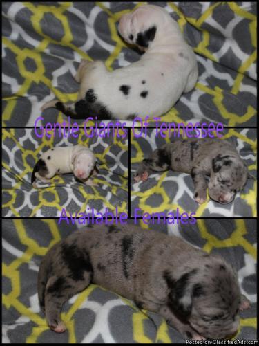 Great Dane Puppies AKC Reg 25% European **FOR SALE**