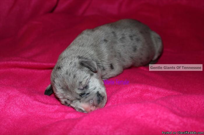 Great Dane Puppy AKC Reg Female Merle 1/4 european