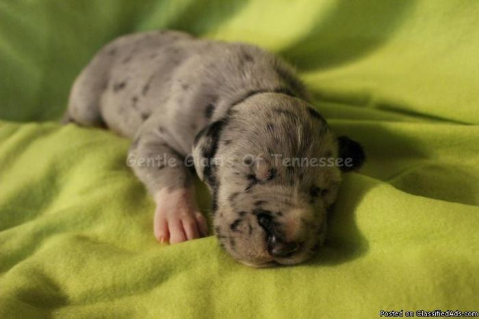 Great Dane Puppy Merle Male AKC Reg 1/4 European