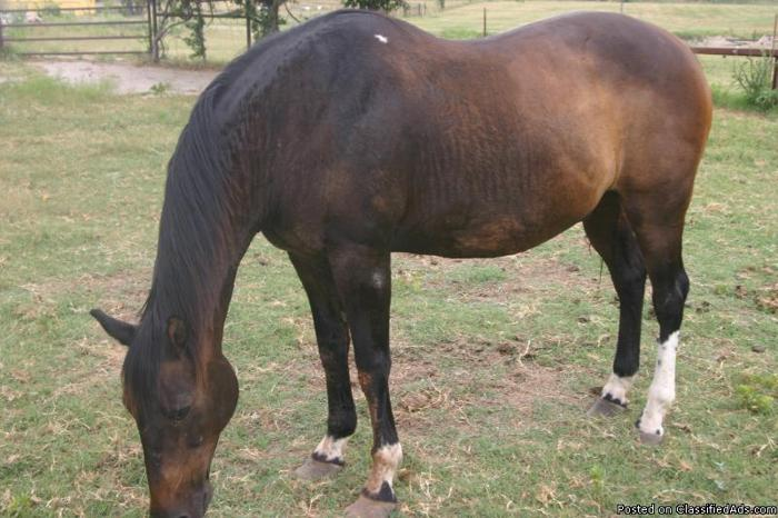 Great Old Bay Quarter Horse Needs YOU!! - Price: $500 OBO