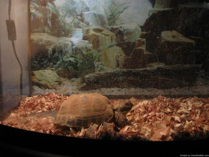 Greek Tortoise with 30 gallon fish tank