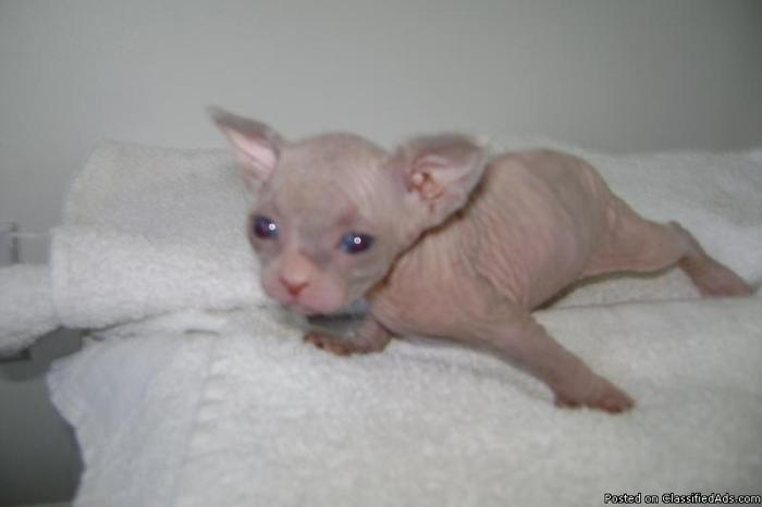 Hairless Cat( sphynx kittens) looking for new home  - Price