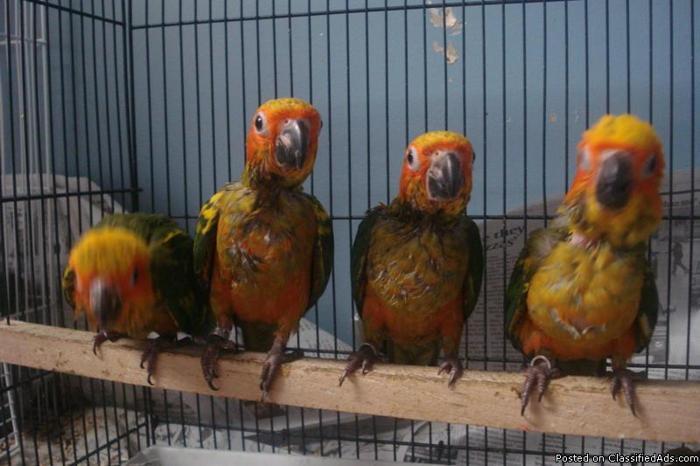 Handfed baby parrots
