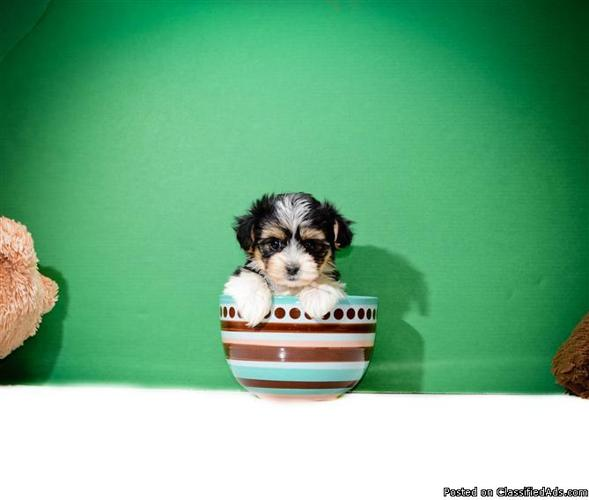 healthy female teacup morkie puppy