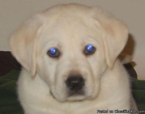 Healthy Golden Retriever Puppies in Saint Louis, Missouri