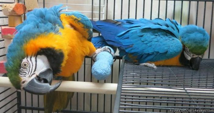 Healthy , talking and trained parrots for sale (301) 458-8899