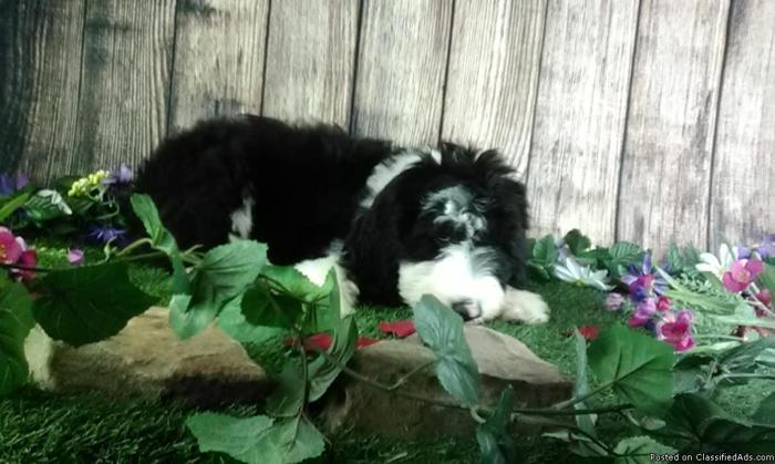 Henry the Sheepadoodle in Canton, Ohio | CannonAds com