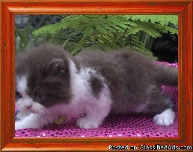 HIMALAYAN & PERSIAN Kittens for sale - Price: 650-950 in Dunedin
