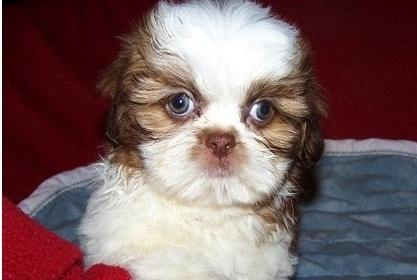 home breakout akc shih tzu pups available