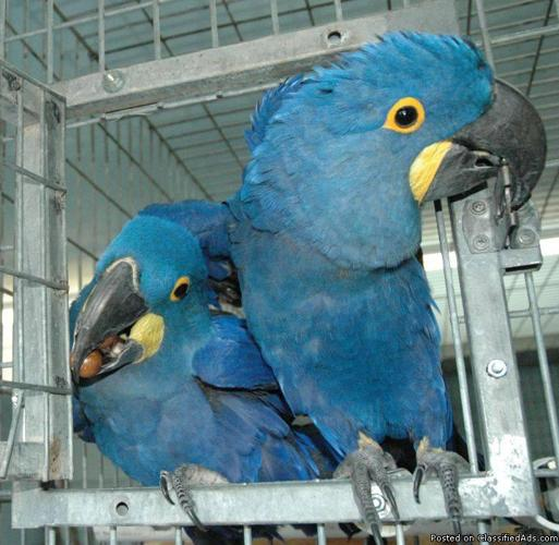 Hyacinth and Blue & Gold macaw available