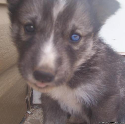 Wolf husky mix puppies - photo#25