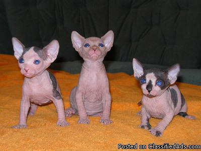 Hyppo-allergenic Sphynx kittens For New Homes  - Price: 500