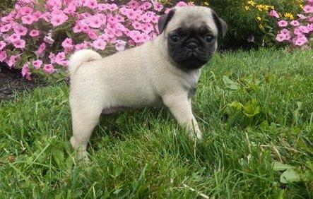 I Have A Fully Pro Fawn And Black Pug Puppies For Sale In Orlando
