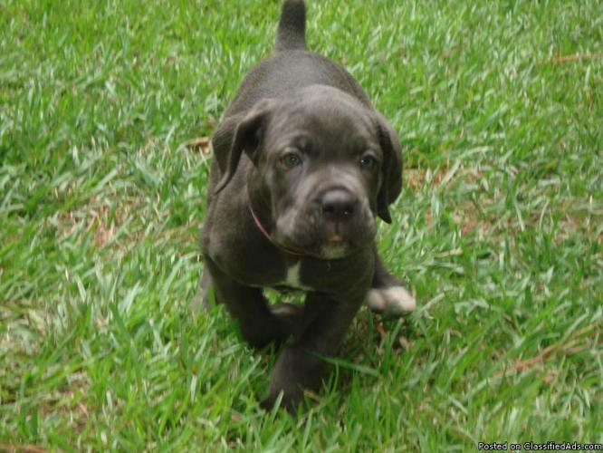 Pin Hoobly Beautiful Cane Corso Italian Mastiff Puppies Ch Bloodlines ...