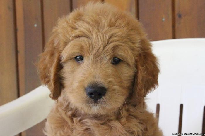 Jimmy F1 Goldendoodle