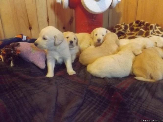 Labradoodle F1 Boys And Girls Both Parents Are Akc