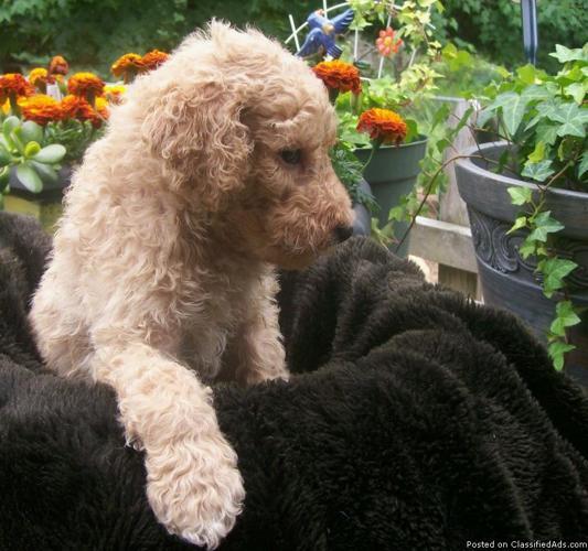 Labradoodle F1b Puppies In Beaverton Michigan Cannonadscom