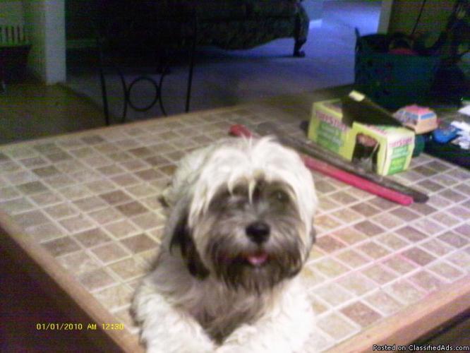 Lahso Apso Puppies For Sale Price 350 0bo In Tulsa Oklahoma