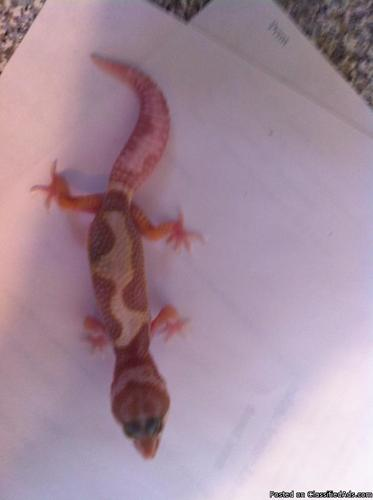 Leopard gecko - Price: 50 00 in Sylmar, California