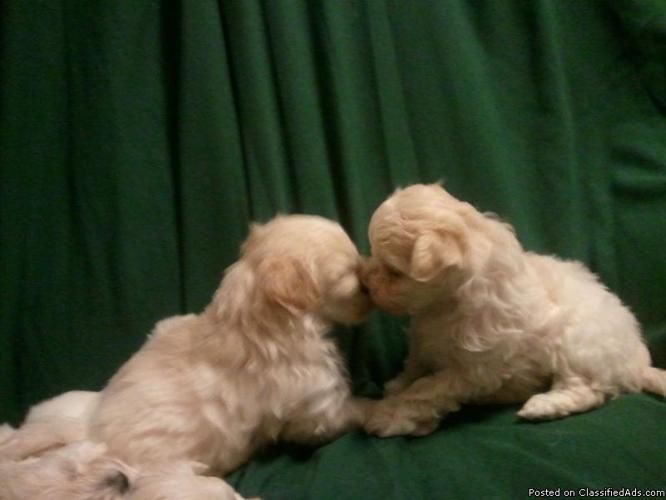 little white fluffy malti-poo's for adoption