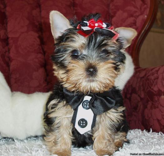 Little Yorkie Samson