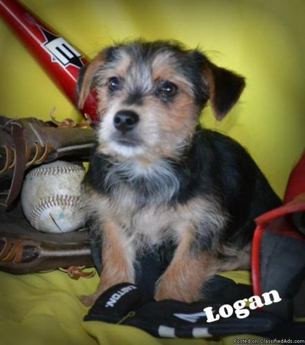 Logan Morkie