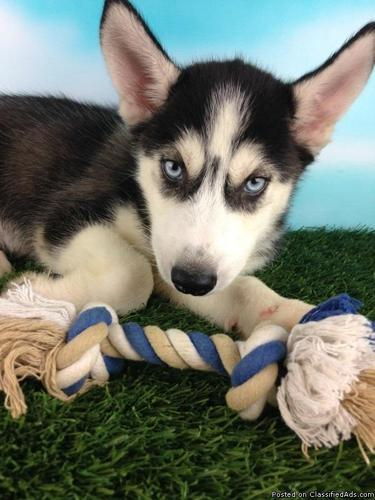 Loki ACA Siberian Husky