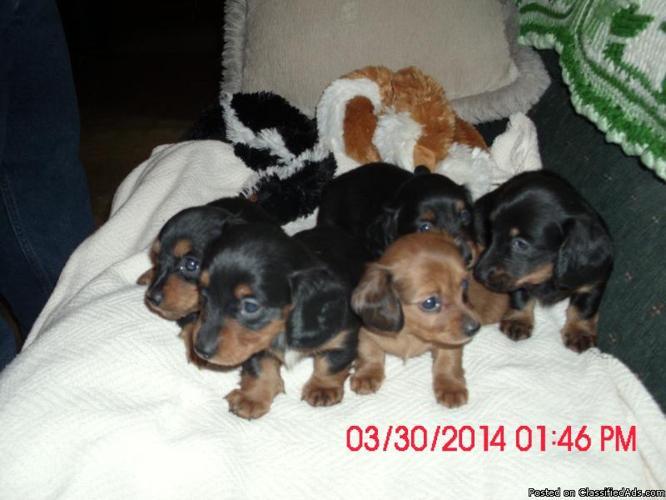 Long hair miniature dachshunds puppies