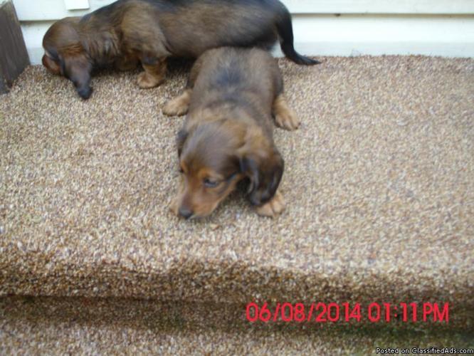 Longhaired miniature Dachshunds
