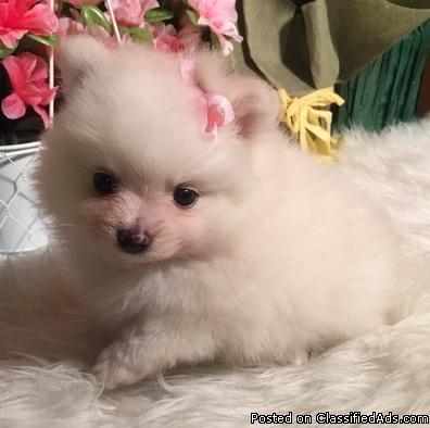 lovely F/M Pomeranian puppys needs Homes