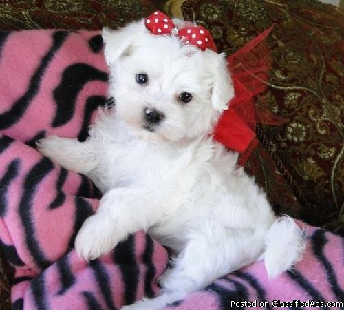 Lovely Males And Females Teacup Maltese Puppies In Atlanta Georgia