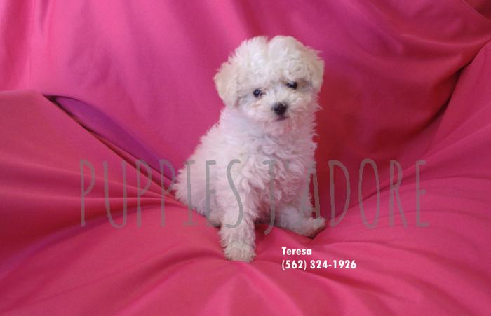 Loving Poodle/Bichon Frise puppies in Whittier, California