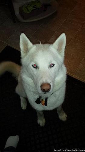 Lucky Charms the all White Siberian Husky