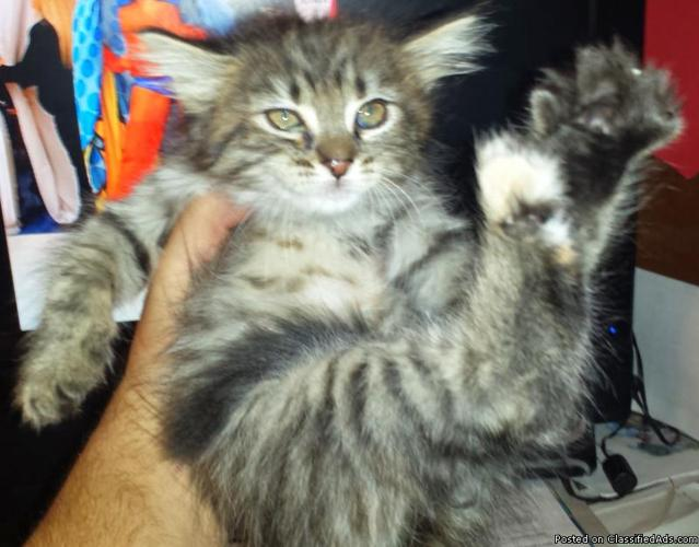 Maine Coon Kittens in Kissimmee, Florida | CannonAds com