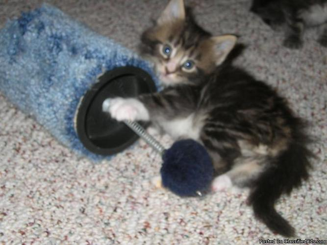 Other gallery for How to Know Maine Coon Cats