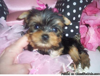 Male And Female Yorkie Puppies For Sale Text At 5637944450 In