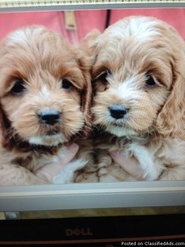 Male Cockapoo Puppies For Sale in Farm Ridge, Illinois