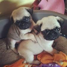 * Male & Female Pug Pups Ready for a New Home