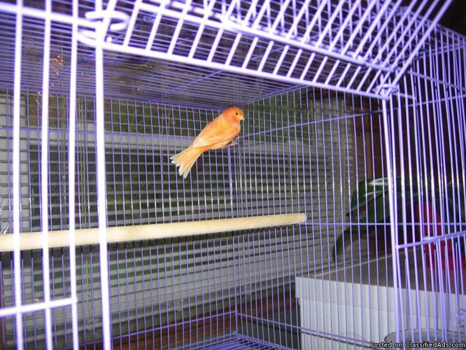 male red factors canaries
