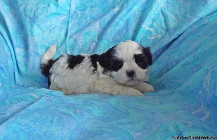 Malshi Puppies-Price Reduced