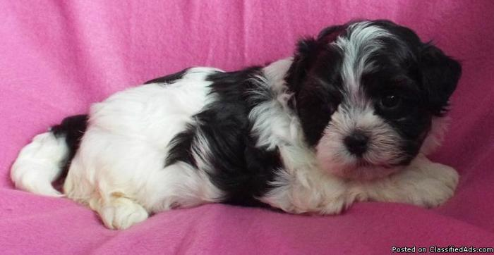 Malshi Puppies -Price Reduced
