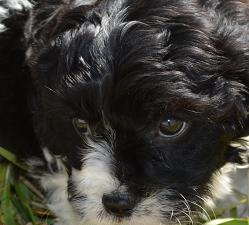Maltepoo Puppy Friendly & Kindness