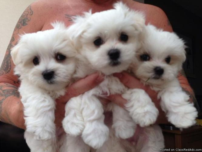 MALTESE PUPPIES, REGISTERED PURE BRED
