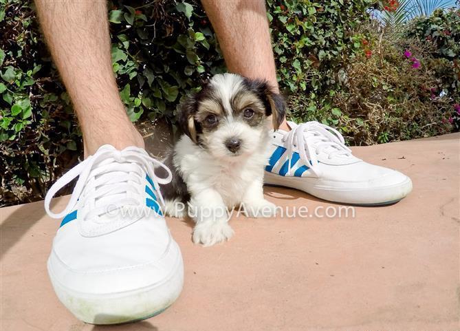 Maltese x Parti Yorkie // Beautiful Parti Morkie Designer Puppy