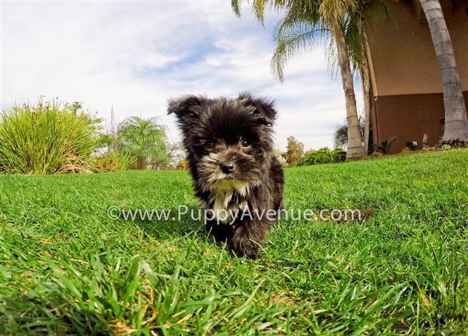 Maltese x Yorkie // Tiny Morkie Designer Puppy for Sale