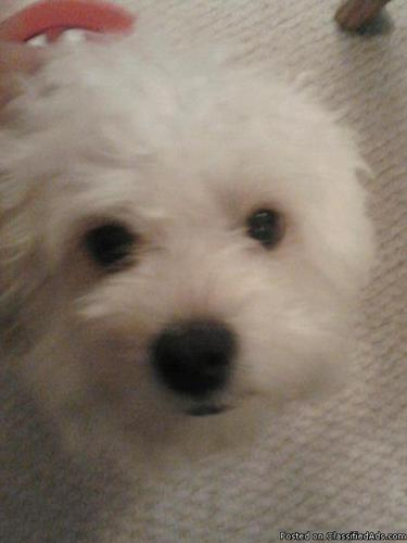 MALTI- POO FOR SALE 2 YEARS OLD TAN IN COLOR