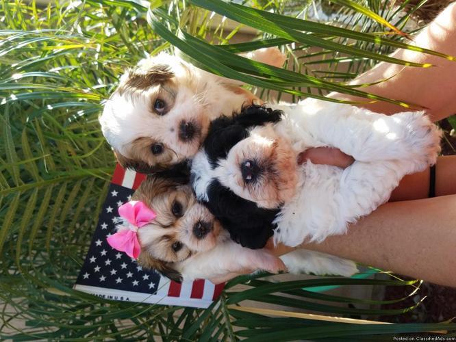 Maltipoo Puppies in Oceanside, California | CannonAds com